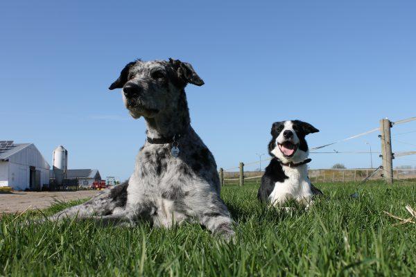 Hunde auf dem Hof
