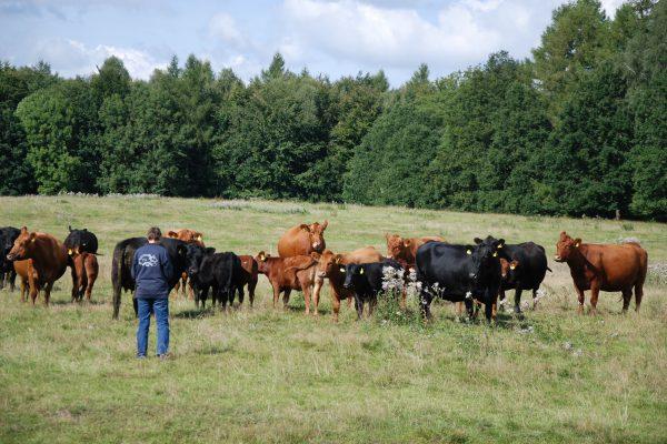 Suse und Rinder